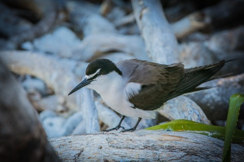 Bridled Tern, Lady Musgrave Island