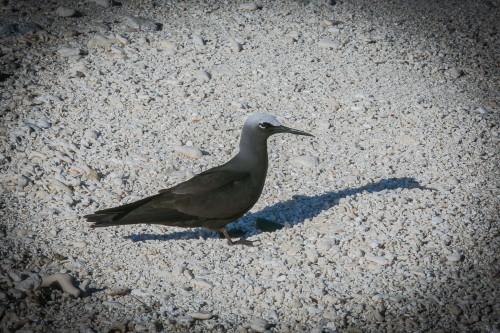 Black Noddy, Lady Musgrave Island