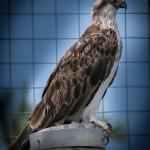 Osprey (Pandionidae), Urangan Boat Harbour